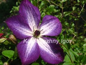 Клематис Venosa Violacea
