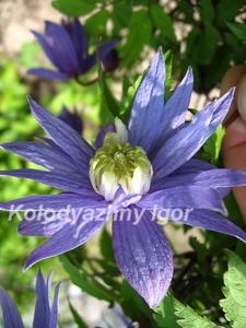Клематис Blue  Princess