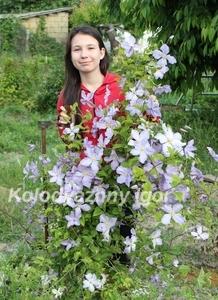 Клематис Blekitny Aniol (Blue Angel )